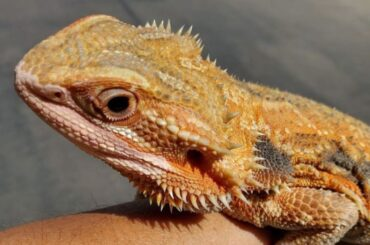How Long Can Bearded Dragons Go Without Food?
