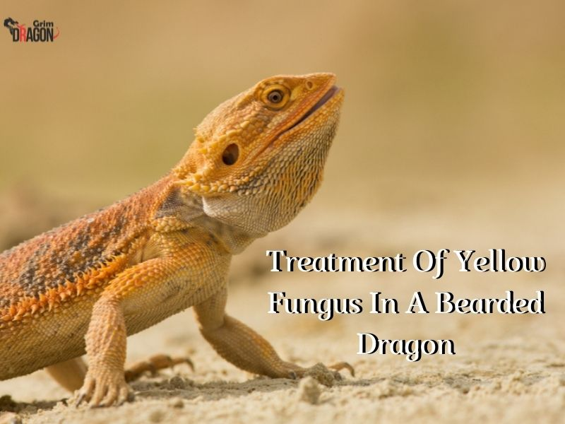 Treatment Of Yellow Fungus In A Bearded Dragon